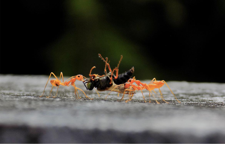 La fourmi rouge d'Argentine est une espèce invasive.
